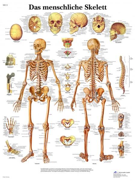 Das menschliche Skelett - Zzgl. Hülsenversand € 6,90 in DE